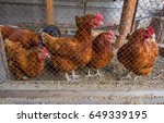 Chicken Brown With Red Combs I...