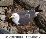 A seagull lying on its nest. - stock photo