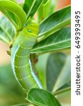 Small photo of Butterfly caterpillar eat adenium leaves.
