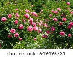 Rose Tree With Pink Roses