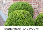 buxus sempervirens | Shutterstock . vector #649497979
