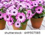osteospermum   Shutterstock . vector #649507585