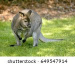 Wallaby Of Bennet  Or Red...