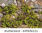 Maidenhair Spleenwort ...
