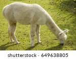 White Llama Eating Grass