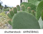 Prickly Pears On The Tree Unripe