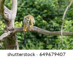 portrait of squirrel monkey... | Shutterstock . vector #649679407