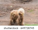 Brown Poodle Dog Playing Muddy