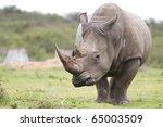 White Rhinoceros Pensive