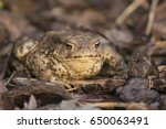 the common toad  european toad  ... | Shutterstock . vector #650063491