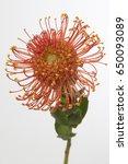 leucospermum vlam | Shutterstock . vector #650093089