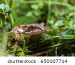 Forest Frog Sneaks Into The Wet ...