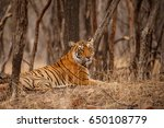 tiger in the nature habitat.... | Shutterstock . vector #650108779