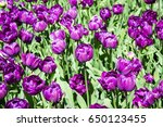 background of purple tulips.... | Shutterstock . vector #650123455