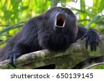 Small photo of Black or Guatemalan Howler Monkey, alouatta pigra or caraya, sitting on a tree in Belize jungle and howling like crazy. They are also found in Mexico and Guatemala.