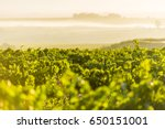 vineyard grape leaves close up... | Shutterstock . vector #650151001