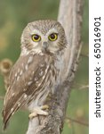 Northern Saw Whet Owl  One Of...