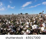 Cotton plants in a field against a blue sky - stock photo