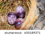 The Eggs Of The Bulbul  Bird