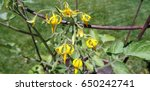 Yellow Cluster Of Tomato...