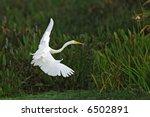 Great White Egret Landing In...