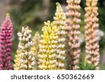 blossoming lupines with copy... | Shutterstock . vector #650362669