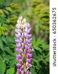 blossoming lupines with copy... | Shutterstock . vector #650362675