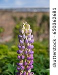 blossoming lupines with copy... | Shutterstock . vector #650362681