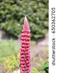 blossoming lupines with copy... | Shutterstock . vector #650362705