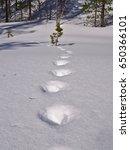 Small photo of Old footprints of a wolverine on deep soft snow.