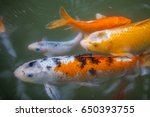 japan fish call carp or koi... | Shutterstock . vector #650393755