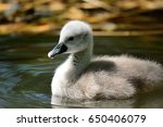 Portrait Of A Cygnet Swimming...