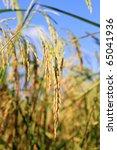rice field farm - stock photo