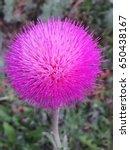 Beautiful Violet Thistle Flowe...