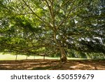 canopy of a huge tree at royal... | Shutterstock . vector #650559679
