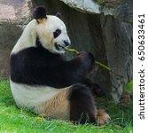 Small photo of Giant panda, Ailuropoda melanoleuca, eating bamboo
