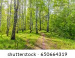 birch grove on a spring sunny... | Shutterstock . vector #650664319