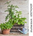 a small urban vegetable garden... | Shutterstock . vector #650742439