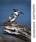 pied kingfisher  ceryle rudis ...   Shutterstock . vector #650744395