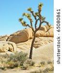 Joshua Tree Growing On The...
