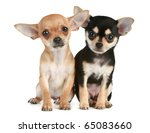 Two Funny Puppies Chihuahua  2...