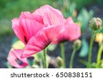 Pink Poppy Flowers Outdoors.