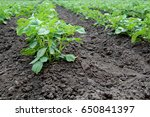 potato bushes in the garden.... | Shutterstock . vector #650841397