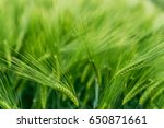 Small photo of Field of ground barley. Green classes on a pure green background. Selective fokuse. Concept agro culture.