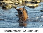 Small photo of Large German Shepherd plays fetch in the waters