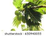 Breadfruit Tree In The Garden