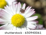 Small photo of Tick (lat. Acarina) on a Daisy flower