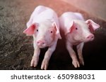 two small piglet sleep on... | Shutterstock . vector #650988031