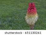 torch lily with copy space | Shutterstock . vector #651130261
