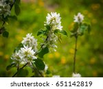 Amelanchier Tree Bloom In The...